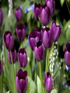 Purple Tulips Mobile Wallpaper