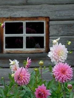 Windows Flower Mobile Wallpaper