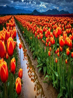 Red Tulip Field Mobile Wallpaper