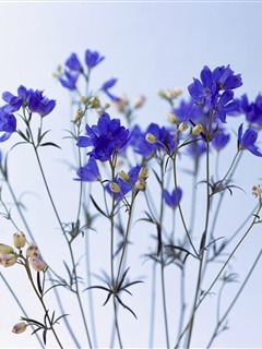 Blue Flowers Mobile Wallpaper