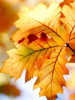 Autumn Colors Leafs Mobile Wallpaper