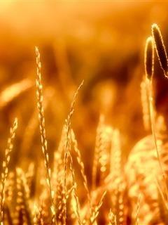 Grains Mobile Wallpaper
