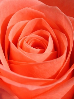 Lovely Orange Rose Mobile Wallpaper