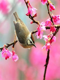 Spring Bird Mobile Wallpaper