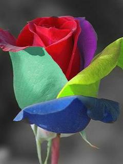 Colorful Rose Mobile Wallpaper