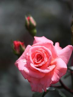 Love Pink Rose Mobile Wallpaper