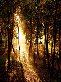 Sun Between Trees Mobile Wallpaper