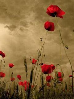 Poppies Mobile Wallpaper