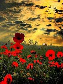 Poppies Sunset Mobile Wallpaper