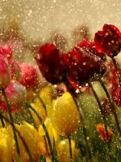 Tulips In The Rain Mobile Wallpaper