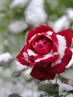 Rose In Snow Mobile Wallpaper