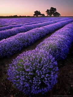 Lavender Fields Mobile Wallpaper