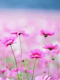 Pink Flowers Mobile Wallpaper
