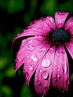 Purple Rain Mobile Wallpaper