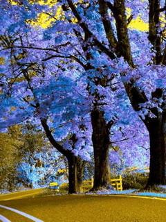 Royal Empress Tree Massachusetts Mobile Wallpaper