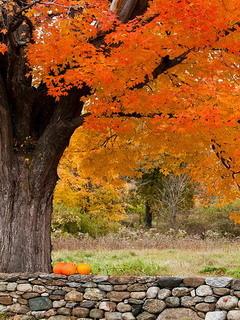 Autumn Orange Tree Mobile Wallpaper