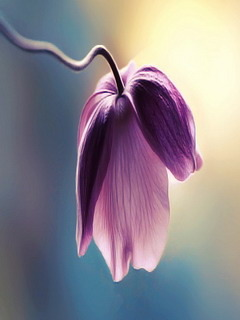 Violet Flower Mobile Wallpaper
