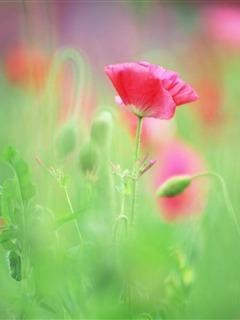 Red Flower Mobile Wallpaper