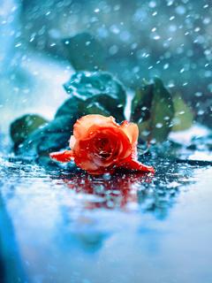 Rose In Rain Mobile Wallpaper