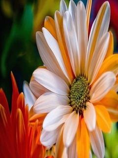 White Orange Daisy Mobile Wallpaper