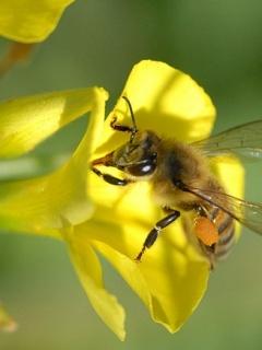 Honey On Flower Mobile Wallpaper