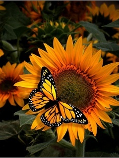 Sunflower And Butterfly Mobile Wallpaper