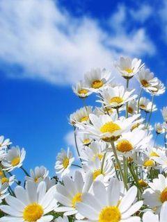 White Daisy Mobile Wallpaper