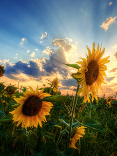 Gorgeous Sunflowers Mobile Wallpaper
