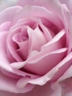 Pink Love Rose Mobile Wallpaper