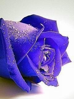 Blue Cute Rose Mobile Wallpaper