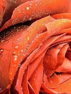 Drops Orange Rose Mobile Wallpaper