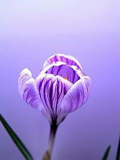 Crocus Mobile Wallpaper