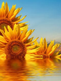 Sunflowers Mobile Wallpaper