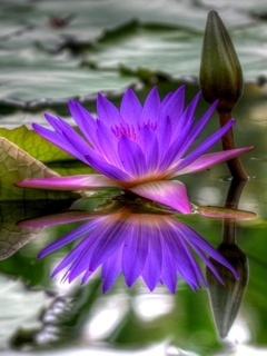 Water Lily Mobile Wallpaper