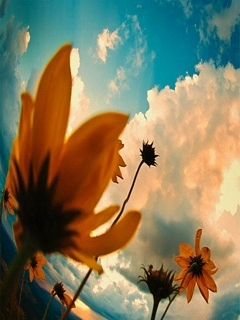 Sunflower And Sky Mobile Wallpaper