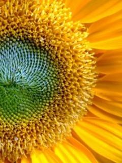Cool Sunflower Mobile Wallpaper