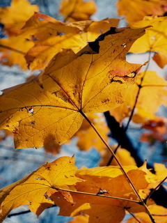 Autumn Leaves Mobile Wallpaper