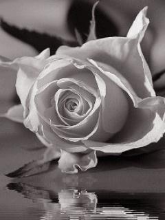 Alone Love Rose Mobile Wallpaper