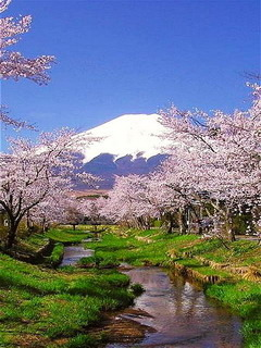 Cherry Blossoms Mount Fuji Japan Mobile Wallpaper