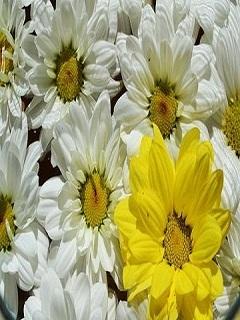 Beautiful Sunflowers Mobile Wallpaper