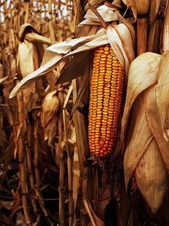 Corn Field Mobile Wallpaper