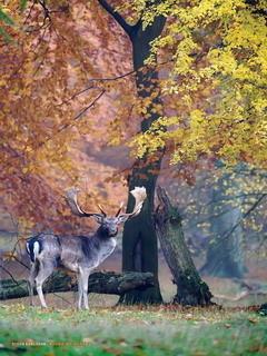 Deer In Nature Mobile Wallpaper