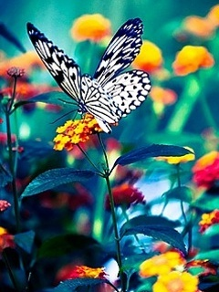 Color Flowers Butterfly Mobile Wallpaper
