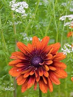 Dahlia Orange Flower Mobile Wallpaper