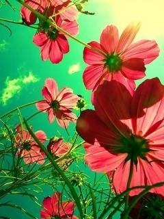 Pink Flowers Sun Mobile Wallpaper