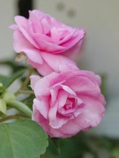 Pink Love Roses Mobile Wallpaper