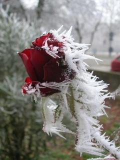 Frozen Red Rose Mobile Wallpaper