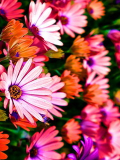 Vibrance Colorful Flowers Mobile Wallpaper