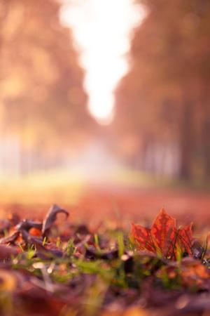 Maple Leaf & Autumn Mobile Wallpaper