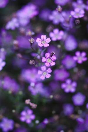 Purple Flowers On Garden IPhone Wallpaper Mobile Wallpaper